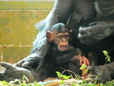 Baby Zuri won't be torn away from her doting mother Zombi which is what happens to even smaller baby chimps when they are born in the entertainment industry | by panGH, via Flickr