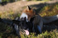 This Fox and Hound Make Real Life Best Friends Unlikely Animal Friends, Malinois, Disney, The Fox And The Hound, Puppy Face, Nature Animals, Bergen, Real Life, Dog Cat