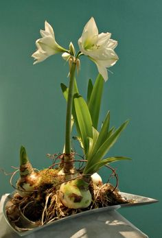 Amaryllis in finished container