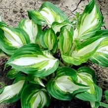 Rare Hosta Garden Perennial Plantain Lily Shade Plant (200 Pcs) – Self Sufficient Soul Ground Cover Plants, Plantain Lily, Ground Cover, Plants, Container Plants, Perennials, Lily Flower Seeds, Flower Seeds, Planting Succulents