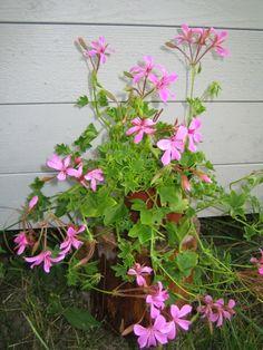 riippapelargoni - Pelargonium peltatum Mini, Plants, Plant, Planets