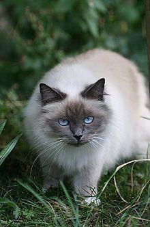 Les Bleus du Lude, véritables chats Sacré de Birmanie Blue Point: Le Sacré de Birmanie selon Wikipedia...