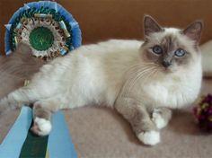 blue point birman cats
