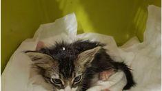Σοκάρουν οι φωτογραφίες του άτυχου ζώου -Επέζησε της δύσκλοης επέμβασης, κρίσιμες οι επόμενες μέρες Ένα απίστευτο περιστατικό κτηνωδίας σε βάρος μιας γάτας που συνέβη χτες Πέμπτη 14 Νοεμβρίου έρχεται να καταγγείλει η φιλοζωική οργάνωση ΚΙΒΩΤΟΣ Μυτιλήνης. Συγκεκριμένα στις 3 το μεσημέρι της Πέμπτης ο κ. Δημήτρης, από τα ιδρυτικά μέλη της ΚΙΒΩΤΟΥ Μυτιλήνης και ενεργός... Cats, Animals, Gatos, Animales, Animaux, Animal, Cat, Animais, Kitty