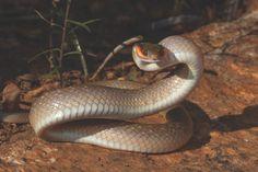 Herald or Red-lipped Snake - Crotaphopeltis hotamboeia
