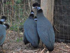 Crested Guinea (Guttera Pucherani Verreauxi) Guinea Fowl, Peafowl, Game Birds, Colorful Birds, Nature Animals, Poultry, Penguins, Parrot, Garden Sculpture