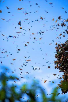 Monarch butterflies near Valle de Bravo