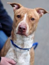 Decatur URGENT Foster Home Needed is an adoptable American Staffordshire Terrier Dog in New York, NY. *URGT* FOSTER FAMILY IS MOVING!!! MUST FIND NEW HOME/FOSTER ASAP!!*** Decatur is a 4 year old pitt...