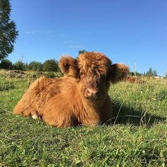 Fluffy brown cow from Highland Cattle Farm in Finland! Baby Farm Animals, Baby Cows, Animals And Pets, Cute Baby Cow, Cute Cows, Fluffy Cows, Fluffy Animals, Super Cute Animals, Cute Little Animals