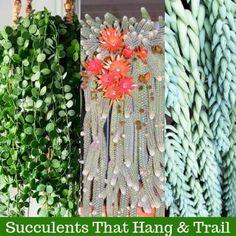 Cacti and succulents that hang or trail include Othonna capensis 'Ruby Necklace', Echinopsis Chamaecereus 'Peanut Cactus', Hildewintera Colademononis. Hoya Plants, Bonsai Plants, Cactus Plants, Hanging Succulents, Cacti And Succulents, Hanging Plants, Propagating Succulents, Succulent Gardening, Succulent Seeds