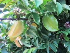 Star fruit are delicious and easy to grow in South Florida gardens.