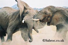 Fighting or playing? Милые Животные, Африканский Слон, Лягушки, Дикие Животные, Танзания, Кошки
