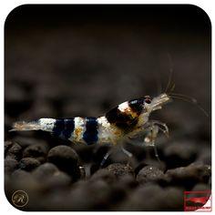 Princess Bee Shrimp