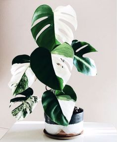 Houseplants You Can Actually Afford - That Planty Life Houseplants You Can Actually Afford - That Planty Life Amazing leaf of Monstera borsigiana variegata! Phot XL Monstera Deliciosa Albo Variegata Plant in Pot – The Philodendron Guru ( Cool Plants, Potted Plants, Garden Plants, Indoor Plants, Foliage Plants, Hanging Plants, Succulent Plants, Indoor Herbs, Big Garden