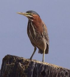 Green heron. Photographer: Robert D Smith