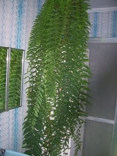 samambaia de metro no vaso de xaxim na sala de estar apartamento Más Best Indoor Plants, Air Plants, Cactus Plants, Outdoor Garden Statues, Indoor Garden, Fern Plant, Plant Leaves, Ferns Garden, Bonsai Seeds