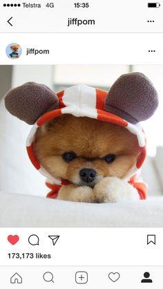 Le plus joli des Boo Tiny Puppies, Cute Little Puppies, Cute Dogs And Puppies, Baby Dogs, Cute Babies, Cute Funny Animals, Cute Baby Animals, Animals And Pets, Cute Puppy Pictures