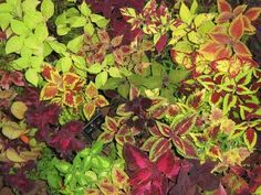 Different varieties of Coleus plants - shady spot - water well 2x a week.  Great in containers - however - need more frequent watering in containers due to quick moisture loss.