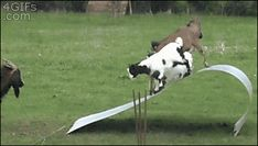 4gifs:  Goats playing on an aluminum roof. [video]