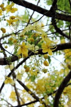 Cassia fistula or the golden shower tree. Photgraphs can't do justice to this beauty | ArtyPlantz