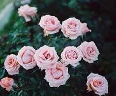 #pinkroses #garden #pretty