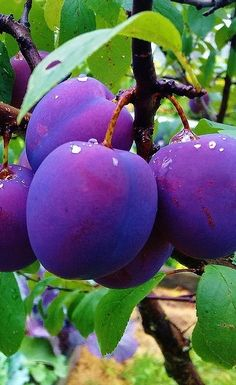 purple and green. plums