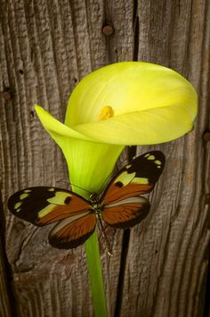 Butterfly with Calla Lily