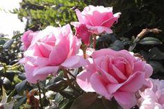 Cómo cultivar rosas a partir de semillas - http://www.jardineriaon.com/como-cultivar-rosas-partir-de-semillas.html