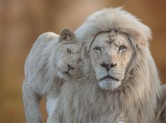 White lion with cub (panthera leon) - Thanks for your visit. Your likes and comments are really appreciated. Kind regards Jean-Claude!
