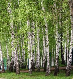Birch Tree Art, Birch Forest, Small Backyard Gardens, Winter Pictures, Hobby Farms, Plantation, Winter Scenes, Nature Photos, Mother Earth