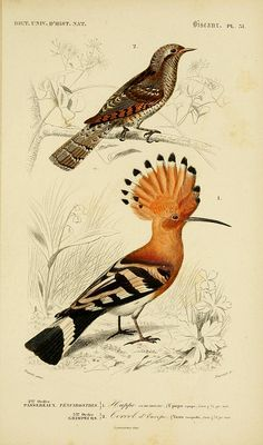 Different types of birds illustrated by Charles Dessalines D' Orbigny Vintage Bird Illustration, Nature Illustration, Botanical Illustration, Nature Prints, Bird Prints, Bird Drawings, Animal Drawings, Vintage Birds, Fauna
