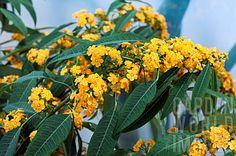 PLANTA TÓXICA Euphorbia fulgens, chiquita bacana (yellow river, TOXIC PLANT)