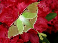 Luna Moth - not a butterfy but beautiful and going to live on this board anyway