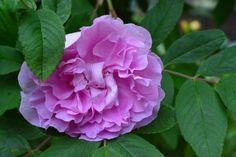 Theresa-ruusu kukkii taas