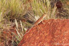 Centralian Earless Dragon (Tympanocryptis centralis) Monitor Lizard, Komodo Dragon, Crocodiles, Reptiles, Fresh Water, Animals, Animales, Crocodile, Animaux