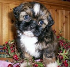 Oh how I love teddy bear puppies (ShihChons)