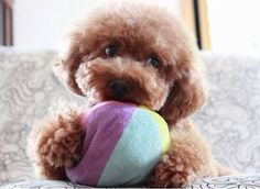 Pino is a 2-year-old toy poodle that lives in Kobe, Japan. She assures me that it's a pleasure to meet you. You can follow Pino on Instagram. [via fluffington post] See more Pino pics here You may also like: Meet Norm: The Photogenic Pug (14 Pics) Important Animal Alert: Stumphrey the Corgi