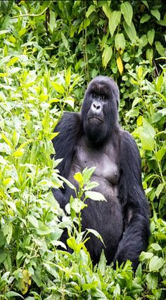 Tips For Capturing the Best Photos on your Gorilla Trek. The moment you have been waiting for, working for and taking stinging nettles for has finally arrived. After an early morning departure and a long hike you have finally reached the gorilla family you have drawn a permit to visit. You have exactly one hour with them, now what? http://www.divergenttravelers.com/photography-tips-gorilla-trek/
