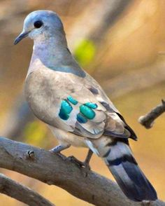 The Emerald-spotted Wood Dove (Turtur chalcospilos) is a pigeon which is a widespread and often abundant resident breeding bird in eastern Africa from Ethiopia to South Africa. by tamra Kinds Of Birds, All Birds, Little Birds, Love Birds, Angry Birds, Pretty Birds, Beautiful Birds, Animals Beautiful, Simply Beautiful