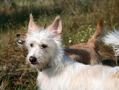 Portuguese Podengo photo | ... pointer - Photogallery - Check out a little Portuguese Podengo