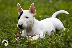 Gus: Mini Bull Terrier by KerrieT, via Flickr