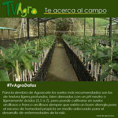#AnotaElDato  en el momento de sembrar aguacate, debes tener en cuenta las condiciones del suelo. Ya que este tiene un papel determinante.