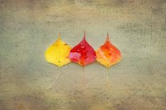 Leaf Photography,Nature Photography, Fall Photography,Autumn Photography,Plant Photography,fall leaves,Forest,Fine Art,Botanical,fall colors by ScatteredBeams on Etsy
