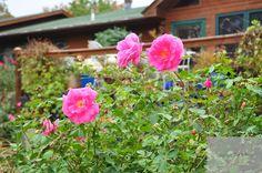 Rosa 'Carefree Beauty' Antique Rose Emporium