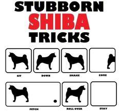 Oh, those stubborn shibas.