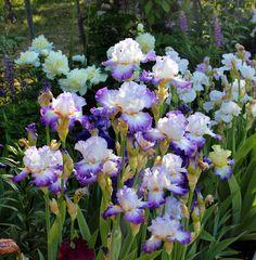 World of Irises