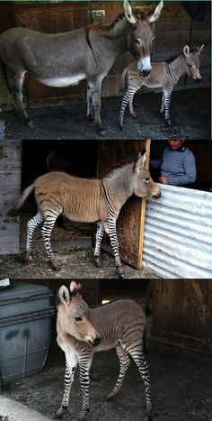 In an animal sanctuary in Florence, Martin the Zebra jumped a fence & met Giada the donkey!  12 months later Ippo the Zonkey was born!  Simply adorable, it's like he is wearing stockings. I want one!