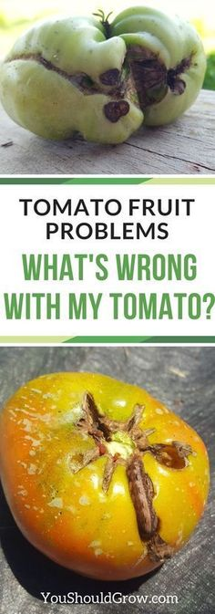 Growing tomatoes in your garden but having troubles with the fruit? Read through the most common tomato problems that affect your fruit in this article at youshouldgrow.com. via @whippoorwillgar