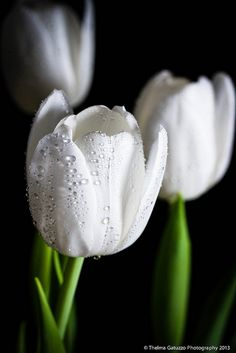 Tulips- Beautiful white tulips.  They show good when it is getting dark.