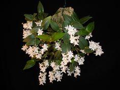 Dendrobium acianthum   Dendrobium aberrans là một loài thực vật có hoa trong họ ...